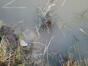 Perpetual turbidity in the wildlife pond